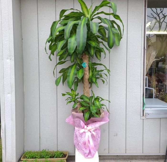 おまかせ観葉植物 特大